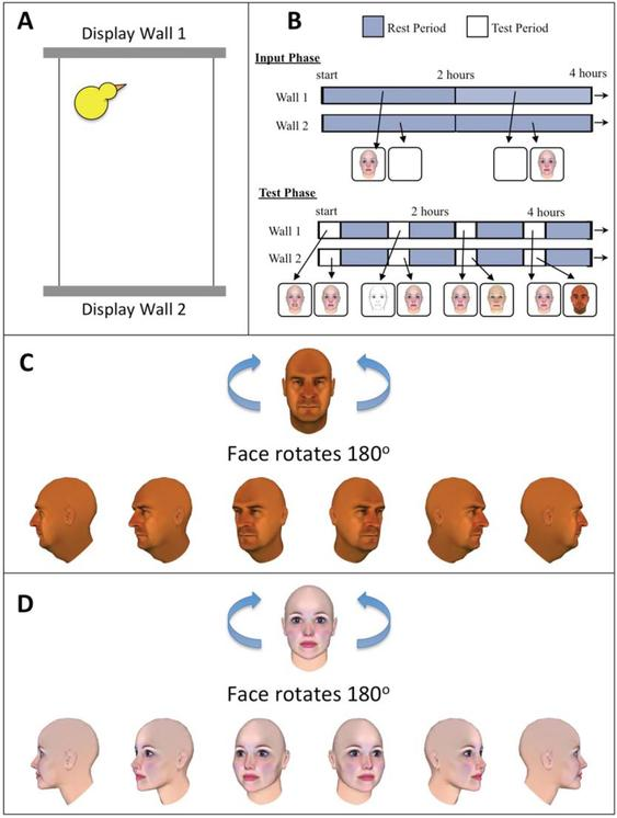 Face recognition in newly hatched chicks at the onset of vision